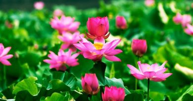 Công dụng của cây hoa sen